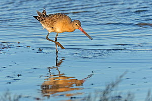 Black-tailed godwit (Limosa limosa) adult in winter plumage feeding on mudflats, The Wash, Norfolk, England, UK, December - Chris Gomersall / 2020VISION