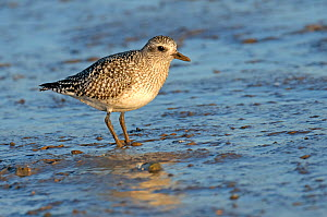 Grey plover (Pluvialis squatarola) adult in winter plumage on mudflats, The Wash, Norfolk, England, UK, December  -  Chris Gomersall / 2020VISION