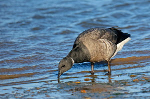 Dark-bellied brent goose (Branta bernicla) feeding on shore just after high water, The Wash, Norfolk, England, UK, January 2012 - Chris Gomersall / 2020VISION