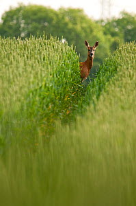 Roe deer (Capreolus capreolus) staring down track in a field of wheat (Triticum sp.), Berkshire, England, UK, June  -  Bertie Gregory / 2020VISION