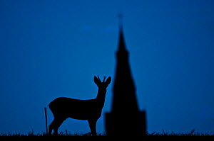 Roe deer (Capreolus capreolus) buck silhouetted at twilight, with church spire, Berkshire, England, UK, November. Did you know? In the original book 'Bambi' was a  Roe deer, however in the later anima... - Bertie Gregory / 2020VISION