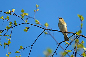 Willow warbler (Phylloscopus trochilus) singing in birch tree at Frensham Common nature reserve, Surrey, England, UK, April  -  Chris Gomersall / 2020VISION