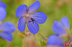 Meadow Cranesbill (Geranium pratense) flowering in a herb rich conservation margin at RSPB's Hope Farm Reserve, Cambridgeshire, England, UK, July  -  Chris Gomersall / 2020VISION