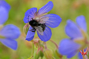 Hairy-footed flower bee (Anthophora plumipes) female feeding on nectar from a Meadow Cranesbill (Geranium pratense) flower at RSPB's Hope Farm Reserve, Cambridgeshire, England, UK, July  -  Chris Gomersall / 2020VISION