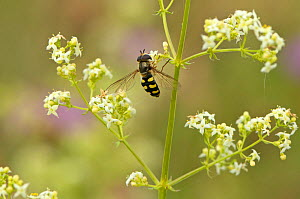 Hoverfly (Eupeodes luniger) on Bedstraw (Galium sp) flower in a herb rich conservation margin at RSPB's Hope Farm Reseve, Cambridgeshire, England, UK, July  -  Chris Gomersall / 2020VISION