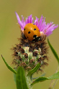Seven spot ladybird (Coccinella septempunctata) on Black knapweed (Centaurea nigra) flower at RSPB's Hope Farm Reserve, Cambridgeshire, England, UK, July  -  Chris Gomersall / 2020VISION