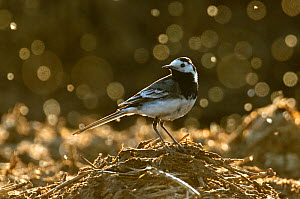 Adult male Pied wagtail (Motacilla alba yarrellii), in spring plumage, feeding on dung flies (Scathophagidae), Hertfordshire, England, UK, May. Did you know? Some of the colloquial names of Pied wagta...  -  Chris Gomersall / 2020VISION