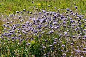 Scorpionweed or Heliotrope (Phacelia tancetifolia) flowers in conservation margin at RSPB's Hope Farm Reserve, Cambridgeshire, England, UK, May  -  Chris Gomersall / 2020VISION