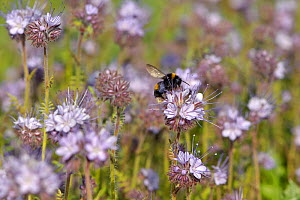 Buff-tailed bumble bee (Bombus terrestris) worker feeding on nectar from Scorpionweed (Phacelia tancetifolia) flowers in a conservation margin at RSPB's Hope Farm  Reserve, Cambridgeshire, England, UK...  -  Chris Gomersall / 2020VISION