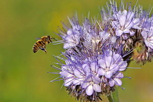 Honey bee (Apis mellifera) worker alighting on a Scorpionweed (Phacelia tancetifolia) flower in conservation margin at RSPB's Hope Farm Reserve in order to feed, Cambridgeshire, England, UK, May  -  Chris Gomersall / 2020VISION