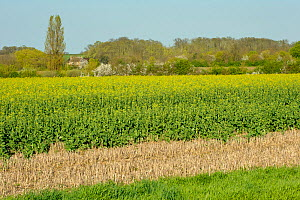 Landscape view of RSPB's Hope Farm reserve showing Oilseed rape (Brassica napus) crop growing with winter stubble in the foreground and  Blackthorn (Prunus spinosa) hedgerow in blossom in the backgrou... - Chris Gomersall / 2020VISION