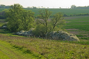 Mature hedgerow with Blackthorn (Prunus spinosa) in flower, Hope Farm RSPB reserve, Cambridgeshire, England, UK, April - Chris Gomersall / 2020VISION