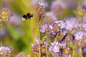 Buff-tailed bumble bee (Bombus terrestris) worker alighting on a Scorpionweed (Phacelia tancetifolia) flower in a conservation margin in order to feed, Hope Farm RSPB reserve, Cambridgeshire, England,... - Chris Gomersall / 2020VISION