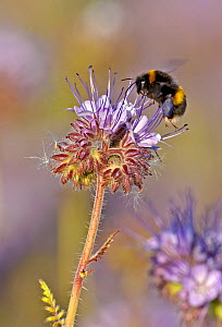 Buff-tailed bumble bee (Bombus terrestris) worker feeding on nectar from a Scorpionweed (Phacelia tancetifolia) flower in a conservation margin, Hope Farm RSPB reserve, Cambridgeshire, England, UK, Ma... - Chris Gomersall / 2020VISION
