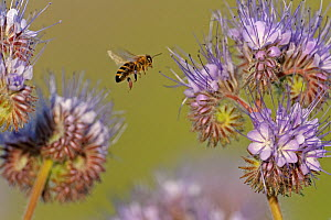 European honey bee (Apis mellifera) worker flying towards a Scorpionweed (Phacelia tancetifolia) flower in a conservation margin in order to feed, Hope Farm RSPB reserve, Cambridgeshire, England, UK,... - Chris Gomersall / 2020VISION