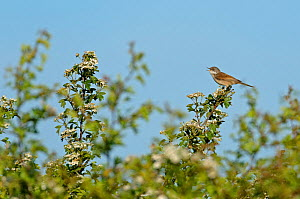 Common whitethroat (Sylvia communis) singing, perched in the top of a flowering Hawthorn (Crataegus monogyna) hedge, Norfolk, England, UK, May  -  Chris Gomersall / 2020VISION