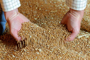 A farmer lifting wheat grain into his hands for inspection in the grain store at Hope Farm RSPB reserve, Cambridgeshire, England, UK, August  -  Chris Gomersall / 2020VISION