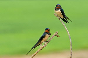 Two Barn swallows (Hirundo rustica), Hertfordshire, England, UK, May - Chris Gomersall / 2020VISION