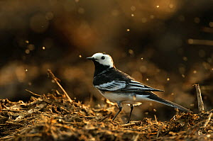 Adult male Pied wagtail (Motacilla alba yarrellii) in spring plumage perched on a manure heap, backlit, Hertfordshire, England, UK, April  -  Chris Gomersall / 2020VISION