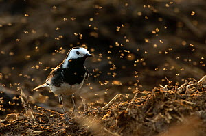Adult male Pied wagtail (Motacilla alba yarrellii) in spring plumage perched on a manure heap, backlit whilst feeding on flies, Hertfordshire, England, UK, April  -  Chris Gomersall / 2020VISION
