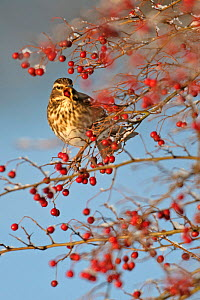 Redwing (Turdus iliacus) feeding on Hawthorn (Crataegus monogyna) berries in winter hedgerow, Cambridgeshire, England, UK, December - Chris Gomersall / 2020VISION