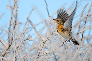 Fieldfare (Turdus pilaris) perched in a frosted winter hedgerow flapping wings, Cambridgeshire, England, UK, December  -  Chris Gomersall / 2020VISION