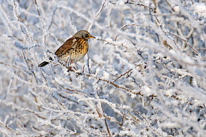 Fieldfare (Turdus pilaris) perched in a winter hedgerow, Cambridgeshire, England, UK, December  -  Chris Gomersall / 2020VISION