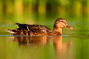 Female Mallard (Anas platyrhynchos), swimming on river, Bradfield Nature Reserve, Berkshire, England, UK, April  -  Bertie Gregory / 2020VISION
