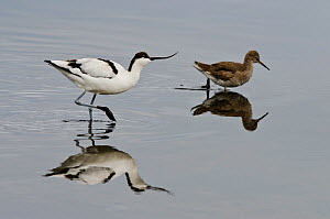 Avocet (Recurvirostra avosetta) feeding along side a Redshank (Tringa totanus), Brownsea Island, Dorset, England, UK, September  -  Bertie Gregory / 2020VISION