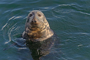 Atlantic grey seal (Halichoerus grypus) in Lerwick harbour, Shetland Islands, Scotland, UK, October  -  Chris Gomersall / 2020VISION