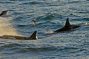 Two Killer whales (Orcinus orca) with a solitary Fulmar (Fulmarus glacialis) seen from the pelagic trawler 'Charisma' in evening light, Shetland Islands, Scotland, UK, October 2011 - Chris Gomersall / 2020VISION
