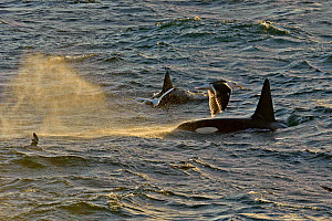 Two Killer whales (Orcinus orca) seen from the pelagic trawler 'Charisma' in evening light, Shetland Islands, Scotland, UK, October. Did you know? These oceanic predators are very long-lived - some fe... - Chris Gomersall / 2020VISION