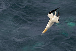 Northern gannet (Morus bassanus) plunge-diving for fish alongside pelagic trawler 'Charisma', Shetland Isles, Scotland, UK, October 2011 - Chris Gomersall / 2020VISION