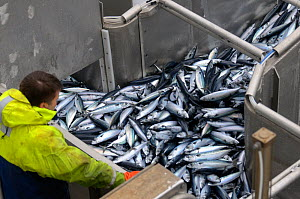Crew member David Anderson examining catch of Atlantic mackerel (Scomber scombrus) as it is pumped in to the refrigerated fish hold on board the pelagic trawler 'Charisma', Shetland Isles, Scotland, U...  -  Chris Gomersall / 2020VISION