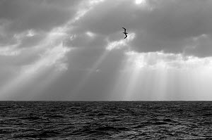 Monochrome image of a Northern gannet (Morus bassanus) adult in flight, seen from the pelagic trawler 'Charisma', Shetland Isles, Scotland, UK, October  -  Chris Gomersall / 2020VISION
