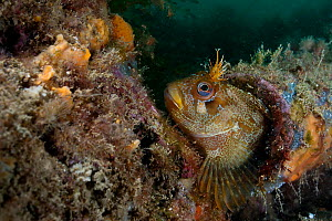 Tompot blenny (Parablennius gattorugine) hiding in a discarded pipe, Swanage Pier, Dorset, England, UK, November. Did you know? Tompot blennies are very curious and will often approach divers.  -  Bertie Gregory / 2020VISION