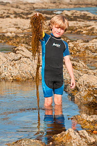 Young boy holding seaweed while rockpooling, Falmouth, Cornwall, England, UK, July 2011 Model Released  -  Bertie Gregory / 2020VISION