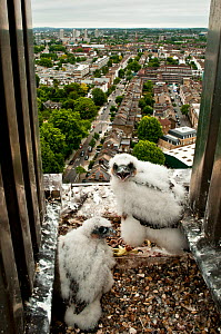Peregrine falcon (Falco peregrinus) chicks at nest on building, London, England, UK, May 2011 - Bertie Gregory / 2020VISION