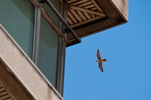Adult peregrine falcon (Falco peregrinus) flying next to a tower block, London, England, UK, June - Bertie Gregory / 2020VISION