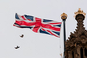 Juvenile Peregrine falcons (Falco peregrinus) chasing one another in front of a Union Jack flag on top of the Houses of Parliament, London, England, UK, July - Bertie Gregory / 2020VISION