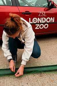Zoological Society of London scientist researching European eel (Anguilla anguilla) populations using eel ladders, London, England, UK, July 2011 Model Release Available  -  Bertie Gregory / 2020VISION