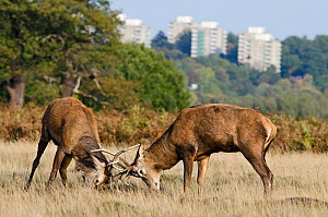 Red deer (Cervus elaphus) stags fighting during rut, with blocks of flats in the background, Richmond Park, London, England, UK, October  -  Bertie Gregory / 2020VISION