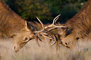 Red deer (Cervus elaphus) stags fighting during rut, Richmond Park, London, England, UK, October  -  Bertie Gregory / 2020VISION