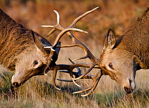 Red deer (Cervus elaphus) stags fighting during rut, Richmond Park, London, England, UK, October. Did you know? Richmond Park deer herds are descended from historic medieval royal hunting stock.  -  Bertie Gregory / 2020VISION
