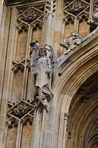 Adult Peregrine falcon (Falco peregrinus) perched on an angel gargoyle on the Houses of Parliament, preening, London, England, UK, September - Bertie Gregory / 2020VISION