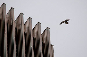 Adult Peregrine falcon (Falco peregrinus) flying near a tower block, London, England, UK, May - Bertie Gregory / 2020VISION