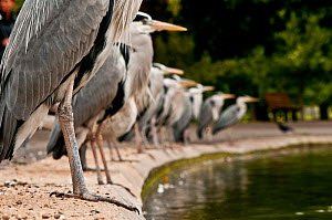 Flock of Grey herons (Ardea cinerea) standing in a line on the edge of a pond, Regent's Park, London, England, UK, May.  Did you know? According to new research, over 91% of people believe that public...  -  Bertie Gregory / 2020VISION