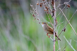 Grasshopper warbler (Locustella naevia) singing in wetland scrub, Ouse Valley, Cambridgeshire, England, UK, April  -  Chris Gomersall / 2020VISION