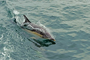 Common dolphin (Delphinus delphis) at surface, near South Uist, Outer Hebrides, Scotland, UK, June  -  Chris Gomersall / 2020VISION