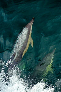 Common dolphins (Delphinus delphis) bow-riding, near South Uist, Outer Hebrides, Scotland, UK, June  -  Chris Gomersall / 2020VISION